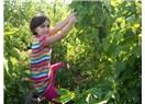 Sebze ve meyvelerin iyisi ihraç ediliyor kötüsü halka yediriliyor