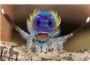 Siz hiç tavuskuşu örümceği gördünüz mü? Video