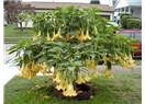 Meleklerin boruları çiçeği