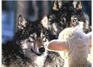 Kuzular kasaplar -  Görüşler hesaplar