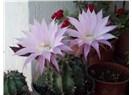 Süzme sözcükler 295: (Haiku)  Kaktüs çiçeği