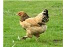 Çok gezen tavuk, ayağında pislik getirir!