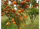 Bodrum'da mandalinalar yerde.
