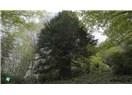 Türkiye'de en yaşlı ağaç 4112 yaşında