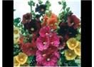 Çiçeği ile gözümüzü, çayı ile sağlığımızı, varlığı ile hayatımızı şenlendiren bitki 'Hibıscus'