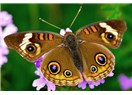 Kelebeğin ömrü