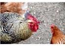 Tavuk günde kaç defa yumurtlar? Yılda kaç tane yumurtlar?