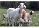 Keçi sütü altın değerinde ama memlekette keçi yok