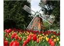 Süzme sözcükler özel : (Haiku) Hollanda lalesi