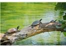 Kaplumbağa ağaca çıkar mı?