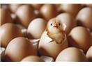 Yumurtalar bile samimi değil; tavuk nasıl dürüst olsun!