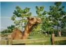 Uzun deve