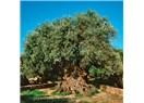 Ölümsüz Ağaç Zeytinin Zamana Meydan Okuyan Hikayesi