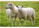 Koyun eti kokuyormuş, adamlar köpek eti yiyor siz koyunu beğenmiyorsunuz