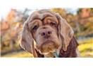 Yaşlı veya yetişkin bir Köpeği evlat edinmenin 9 harika sebebi!