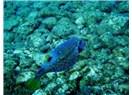 Kızıldeniz'den gelen 60. tür kıyılarımızda