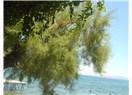 İzmir'de sıcak, Güllük'te yavru köpekler; mavi su olsak, yeşil ağaç