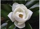 Sadece bir manolya ağacının çiçeği bile insanın iman etmesine yeter…