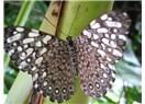 Kelebek (S)eslisi