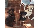 Tanem Sivar'ın Köpeklerini Zehirleyerek Öldüren Kişi