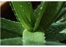 Aloe Vera Bakımı Nasıl Yapılır?