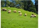 Koyunları Saldım Çayıra Çayırlarda Kımıl Kımıl Yayıla