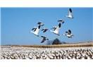 Göçmen Kuşlar Misali