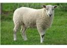 Yumuşak Başlı İsem,  Kim Demiş Uysal Koyunum?