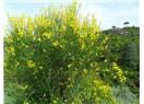 Hüzün Sarısı