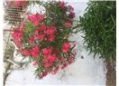 İşte, Size İzmir Sığacık'tan Eşsiz Güzellikte Çiçek Fotoğrafları