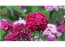 Hüsnuyusuf Çiçeği Anlamı ve Bakımı