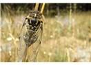 Cırcır Böcekleri...