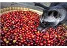 Dünyanın En Pahallı Kahvesi Misk Kedisinin Dışkısından Elde Ediliyor
