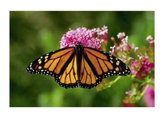 Kelebek gibi uçar mıyız?