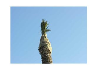 Palmiye ağacı soğuktan korunmalı
