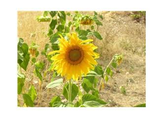 Sonunda ayçiçeği fotoğrafı çektim...