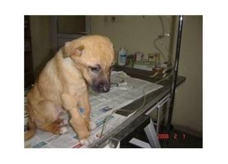 Gürpınar Barınağı: Hasta köpeklerimiz sizleri bekliyor....