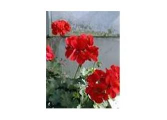 Kırmızı Sardunyalar