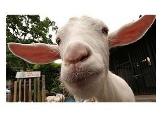 Keçinin merakı
