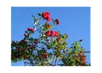Güller kırmızıdır sevgilim ve gökyüzü mavi