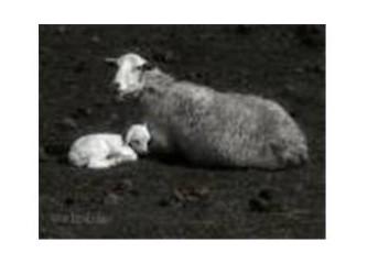 Koyun kuzu ve Hint horozu