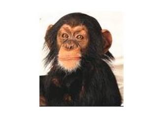 Beş maymun