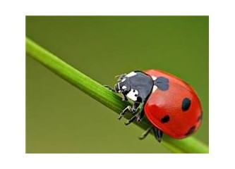 Kırmızı fraklı uğur böceği