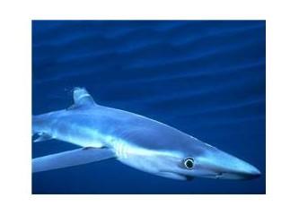 Boğaz'da Köpekbalığı
