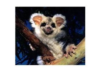 "Tembel ""Koala"""