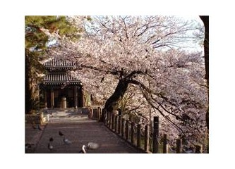 """""""Kiraz ağacının adının-sakura-olması bir aşkı ifade edemeyeceğinin anlamını taşımaz"""