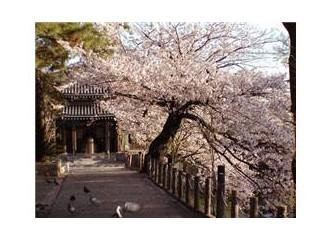 """Kiraz ağacının isminin """"sakura""""olması aşkı ifade etmemin engeli sayılmaz"""