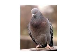 Suskun güvercin