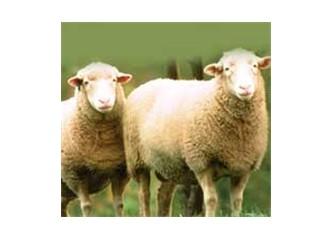 Rahat bırakın koyunları...