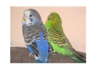 Muhabbet kuşları ve papağanlar
